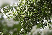 Eingriffliger Weißdorn, Eingriffeliger Weißdorn, Weissdorn, Weiß-Dorn, Weiss-Dorn, Hagedorn, Crataegus monogyna, hawthorn, common hawthorn, oneseed hawthorn, single-seeded hawthorn, English Hawthorn, May, L'Aubépine monogyne, L'Aubépine à un style