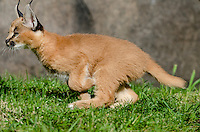 Young Caracal Kitten (Caracal caracal) running.  Caracals are found in Africa to Central Asia and India.