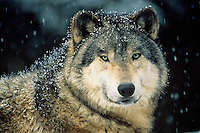 Gray wolf or timber wolf (Canis lupus).Oregon Zoo, Portland Oregon)