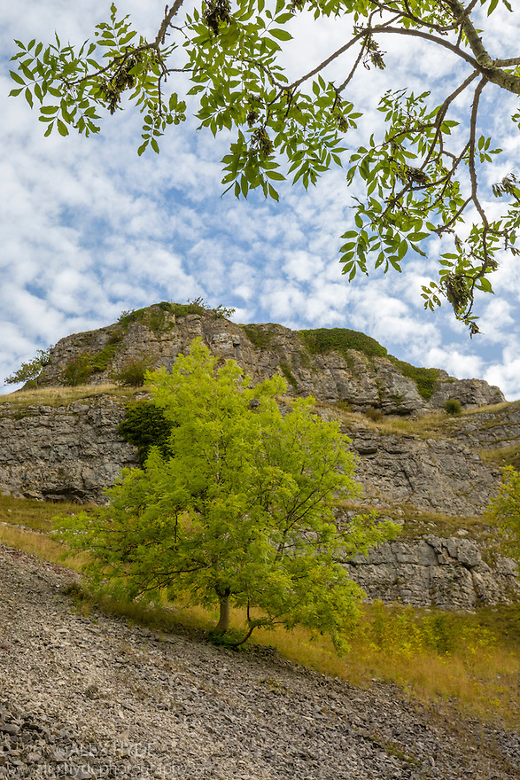 Ash trees {Fraxinus excelsior} growing on limestone scree in Lathkill Dale, Peak District National Park, Derbyshire, UK. September.