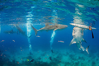 Whale sharks, Rhincodon typus, feeding beneath fishermen'smens boats in Oslob, Philippines, Indo-Pacific Ocean This practice has turned into a major yet controversial tourism attraction.