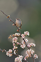 Bewick's Wren (Thryomanes bewickii), adult perched on blooming Mexican Plum (Prunus mexicana), Hill Country, Central Texas, USA