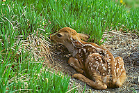 Black-tail deer fawn lying motionless, June, Pacific Northwest.