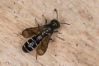 Hahnenfuß-Scherenbiene, Hahnenfuss-Scherenbiene, Scherenbiene, Scherenbienen, Weibchen, Milben, Milbenbefall, Chelostoma florisomne, Sleepy Carpenter Bee, large scissor-bee, female