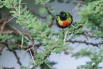 Male Beautiful Sunbird (Cinnyris pulchellus) in Acacia tree. Ndutu area, Ngorongoro Conservation Area NCA / Serengeti National Park.