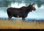 Female Moose at Dawn, Floating Island Lake, Yellowstone National Park, Wyoming