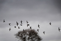 Twenty birds in flight on a winter afternoon.