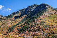 Autumn Fall Colors, Unita National Forest, Utah, USA.