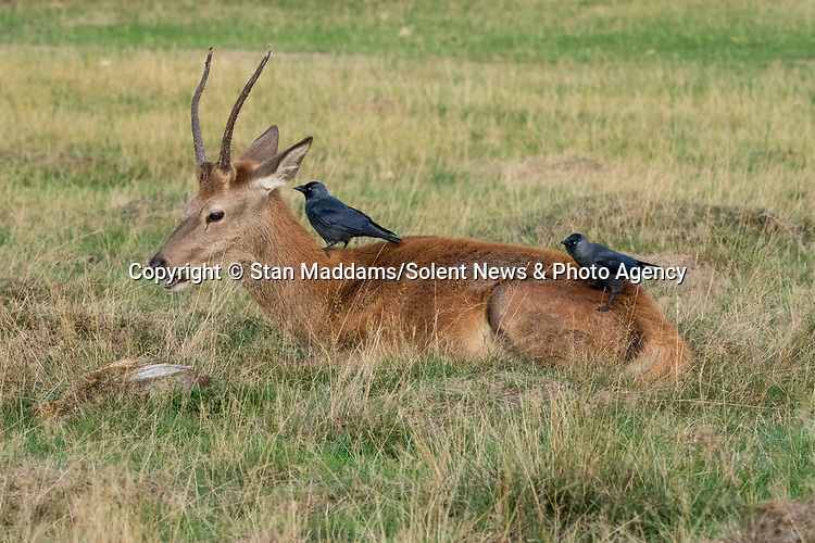 These red deer seem to be happily chatting away to jackdaws perched on them.  They appear very tolerant of the birds which clean them of bugs and ticks.<br /> <br /> Amateur wildlife photographer Stan Maddams captured the pictures after arriving at London's Bushy Park just after sunrise for the annual 'rut' - which takes place between September and November as stags lock antlers to win a mate.  SEE OUR COPY FOR DETAILS.<br /> <br /> Please byline: Stan Maddams/Solent News<br /> <br /> © Stan Maddams/Solent News & Photo Agency<br /> UK +44 (0) 2380 458800