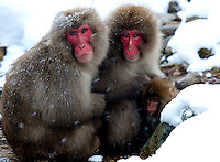 Japanese macaques, a.k.a. Snow Monkeys in the driving snow Jigokudani (Hell Valley) in Nagano Prefecture, Japan. Japanese snow monkeys live in extreme conditions where winter temperatures can drop to -20 c, and they are unique in taking hot bath, known as an Onsen..28 Jan 2011