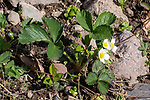 Strawberry plant flowering during spring.