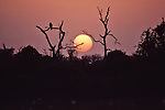 Black vulture perched in a tree at sunset in Aransas National Wildlife Refuge.