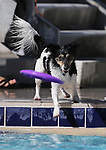 Denver plays at the 9th annual Pooch Plunge at the Carson City Aquatics Center in Carson City, Nev., on Saturday, Sept. 23, 2017. The event is a fundraiser for Carson Animal Services Initiative which supports the Nevada Humane Society in Carson City. <br /> Photo by Cathleen Allison/Nevada Photo Source