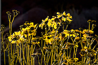 A perennial well adpated for life in the desert, Brittlebrush blooms of showy yellow flowers occur after even moderate rainfall