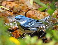 Adult male cerulean warbler