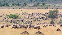 Wildebeast Migration5  Kenya 2015