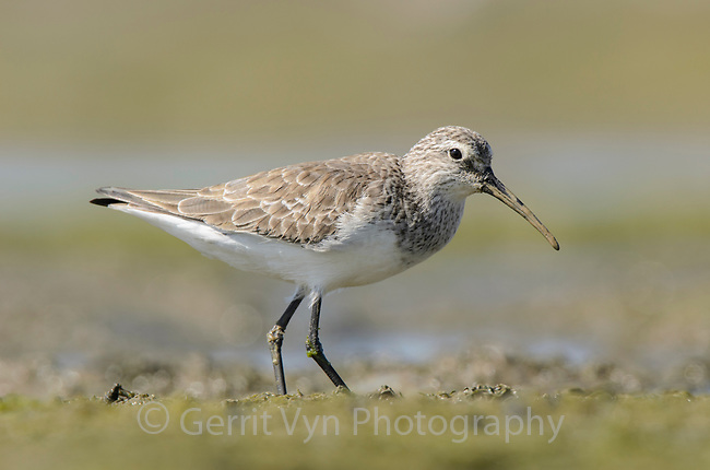 Curlew Sandpiper (Calidris ferruginea) in basic plumage. Rakhine State, Myanmar. January.