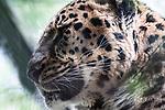 amur leopard close up of face through trees facing left