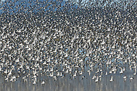 Large flock of Dunlin (Calidris alpina) in winter (basic) plumage in flight over a shallow pond. Skagit County, Washington. December.