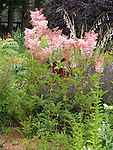 QUEEN OF THE PRAIRIE, FILIPENDULA RUBRA