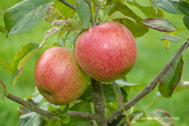 Charles Ross apples. A nineteenth cetury   English cooking and eating apple