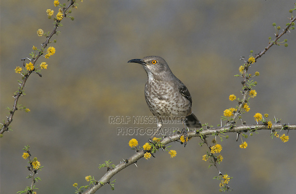 Curve-billed Thrasher, Toxostoma curvirostre,adult on blooming Huisache (Acacia farnesiana), Starr County, Rio Grande Valley, Texas, USA, April 2002
