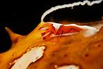 Emperor Shrimp on Spawning  Sea Cucumber, Periclemenes imperator, Lembeh Straits, Sulawesi Sea, Indonesia, Amazing Underwater Photography by Suzan Meldonian
