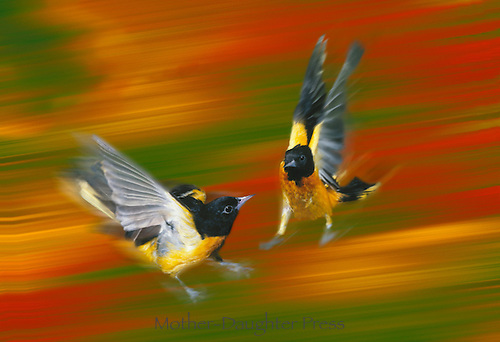 Two male Baltimore Orioles, Icterus galbula, fighting in mid-air