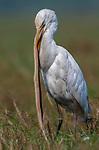 Egret has a long tongue as it swallows a snake by Rajkumar Lahiri