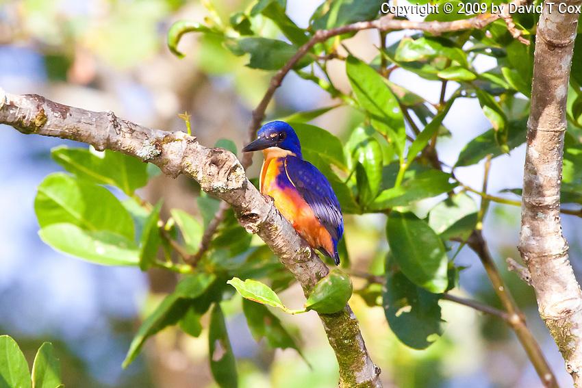 Azure KIngfisher, Daintree River, Queensland, Australia