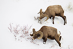 Bighorn Sheep (Ovis canadensis) rams browsing in winter, Lamar Valley, Yellowstone National Park, Wyoming