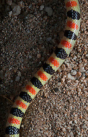 Western Shovelnosed Snake.Chionactis occipitalis..Swims through desert sand like the sandworms from Dune and Beetlejuice.