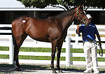 Hip #109 A.P. Indy - Lacadena filly at the  Keeneland September Yearling Sale.  September 9, 2012.