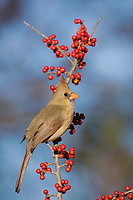 northern cardinal, Cardinalis cardinalis, female eating Possum Haw Holly berries, Ilex decidua, Bandera, Hill Country, Texas, USA, North America