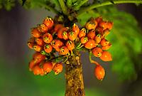 Rare endangered lobelia (cyanea shipmanii), three plants known at hakalau forest at natural wildlife reserve