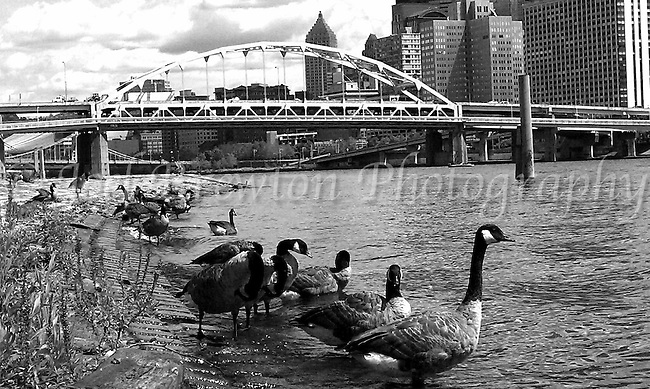 Geese parade along the  edge of the Allegheny River on Pittsburgh's North Shore.