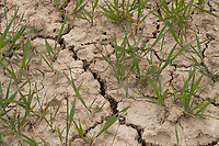 29-4-2021 Cracks in the ground in a field drilled with Winter wheat due to the dry Spring<br /> ©Tim Scrivener Photographer 07850 303986<br />      ....Covering Agriculture In The UK....