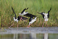 Black-necked Stilt (Himantopus mexicanus), two couples fighting, Sinton, Corpus Christi, Coastal Bend, Texas, USA