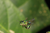 An Euglossa hemichlora bee in flight. With solitary or semi-social bees like Eulossa, the bees feed themselves on nectar directly from the flowers and they gather pollen that they mix with the nectar for the brood.///En vol une abeille Euglossa hemichlora. Chez ces abeilles solitaires ou semi-sociales comme les Eulossa, les abeilles se nourrissent directement sur les fleurs de nectar et elles récoltent du pollen qu'elles mélangent à du nectar pour le couvain.