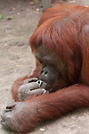 Bornean Orangutan (Pongo pygmaeus wurmbii) - Siswi the Queen of the jungle of Camp Leakey drinking tea from a glass cup.