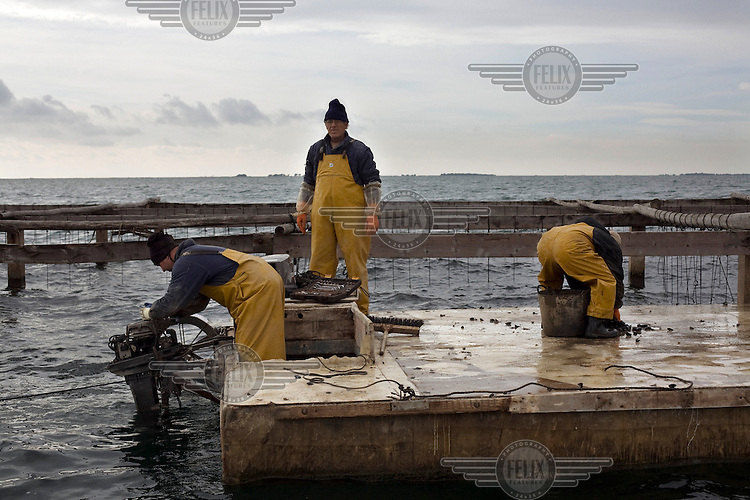 Fishermen colecting mussels in a hatchery on the Mediterranean Sea.