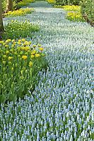 """Hollande, région des champs de fleurs, Lisse, Keukenhof, rivière de muscaris 'Peppermint' bordée par les tulipes doubles 'Yellow Spider' // Holland, """"Dune and Bulb Region"""" in April, Lisse, Keukenhof, river of muscaris 'Peppermint' or Grape Hyacinth 'Peppermint' surrounded by tulips Yellow Spider'."""