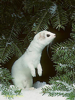 MA03-021x  Short-Tailed Weasel - ermine standing on hind legs, looking, smelling for prey in winter - Mustela erminea