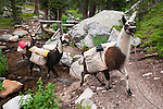 along the trail with pack llamas, summer, day, wilderness, Wild Basin, Rocky Mountain National Park, Colorado, USA