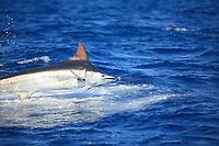 blue marlin, Makaira nigricans, jumping, New South Wales, Australia, gamefish, sportfishing
