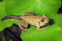 Green Frog (Lithobates clamitans or Rana clamitans melanota) Photo showing young frog in final transition from tadpole to adult frog. (do (c)