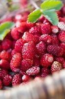 Wald-Erdbeere, Walderdbeere, Erdbeere, Wald-Ernte, Erdbeer-Ernte, Wald-Erdbeeren sammeln, Korb, Sammelkorb, Erdbeeren, Walderdbeeren, Erdbeeren, Fragaria vesca, wild strawberry, woodland strawberry, Alpine strawberry, European strawberry, strawberry, strawberries, fraises des bois