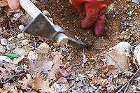 A pick and a hand uncovering a truffle at La Truffe de Ventoux truffle farm, Vaucluse, Rhone, Provence, France