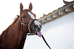 HALLANDALE BEACH, FL - JANUARY 14:   <br /> California Chrome cools out after breezing 5 furlong at Gulfstream Park. (Photo by Arron Haggart/Eclipse Sportswire/Getty Images