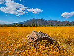 Yellow Carpet in Buffalo Park.  After the fine monsoon rains we had this summer, the flowers around Flagstaff spared no expense when expressing their appreciation, with the San Francisco Peaks (the highest in the state) looking on.  Local humans such as us were just bystanders, but we derived considerable enjoyment nonetheless, as did our cameras.<br /> <br /> Tech info: Canon SX50 HS camera, 33mm equivalent focal length, 1/400 sec. at f5.6, ISO 80.<br /> <br /> Image ©2021 James D. Peterson